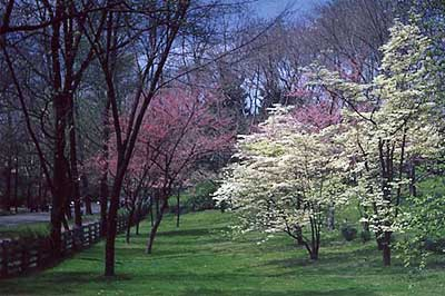 Dogwood trees at Rosedale